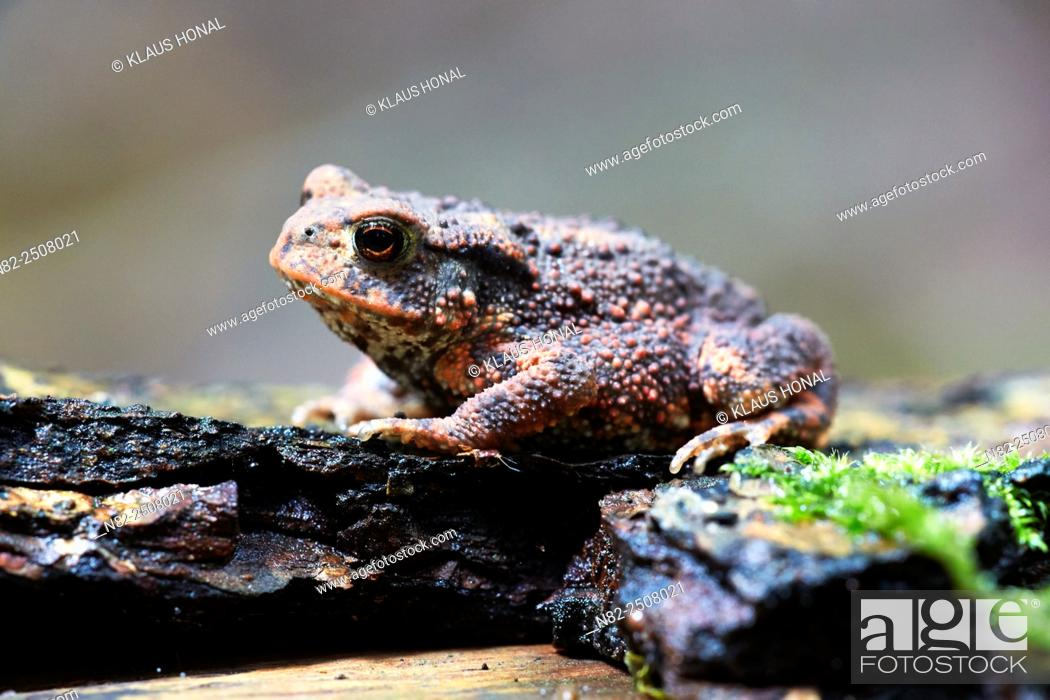 Stock Photo: Common Toad Bufo bufo on forest floor. The skin of the toad varies greatly in color from brownish, yellowish, gray, olive green and sometimes reddish hues -.