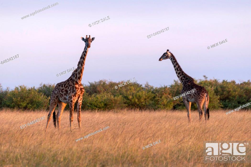 Stock Photo: Two Masai giraffes standing in long grass.
