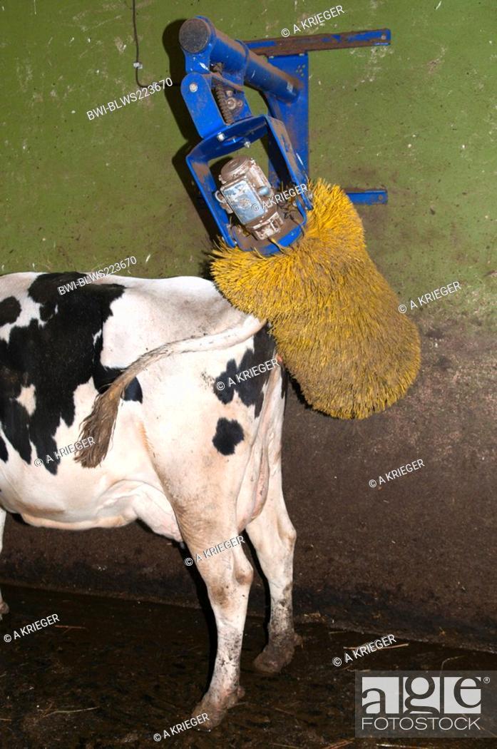 domestic cattle Bos primigenius f  taurus, cow using the
