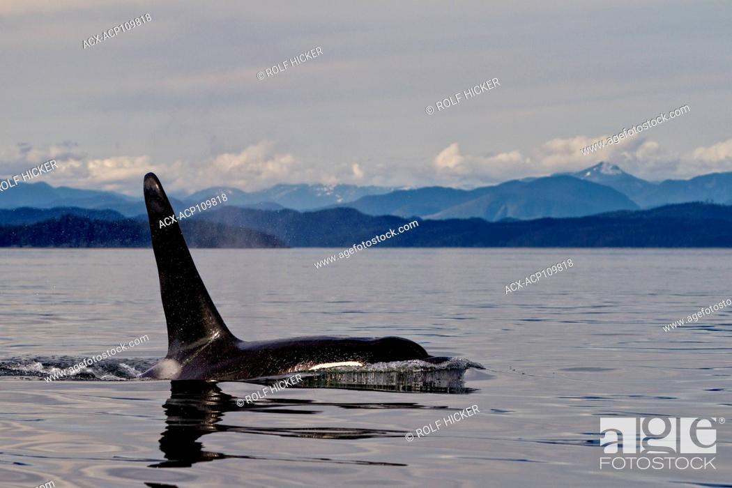 Stock Photo: Male northern resident killer whale in Queen Charlotte Sound, British Columbia, Canada.