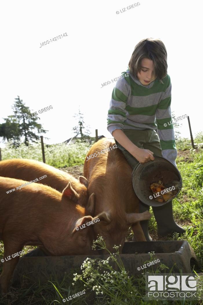 Stock Photo: Boy 7-9 feeding pigs in sty.