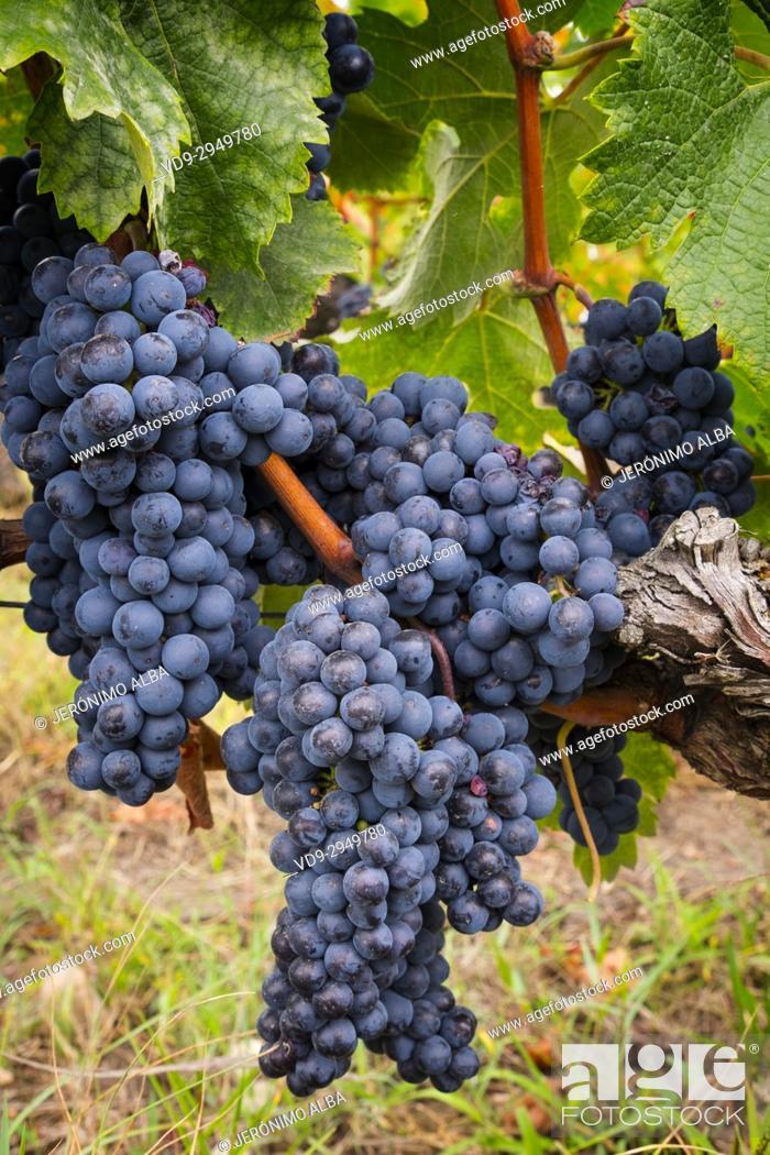 Stock Photo: Vineyards. Pomerol. Bordeaux wine region. Aquitaine Region, Gironde Department. France Europe.