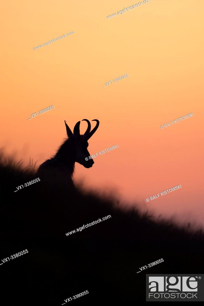 Stock Photo: Chamois ( Rupicapra rupicapra ) lying, resting in grass of an alpine meadow, silhouetted against purple coloured evening sky, Europe.