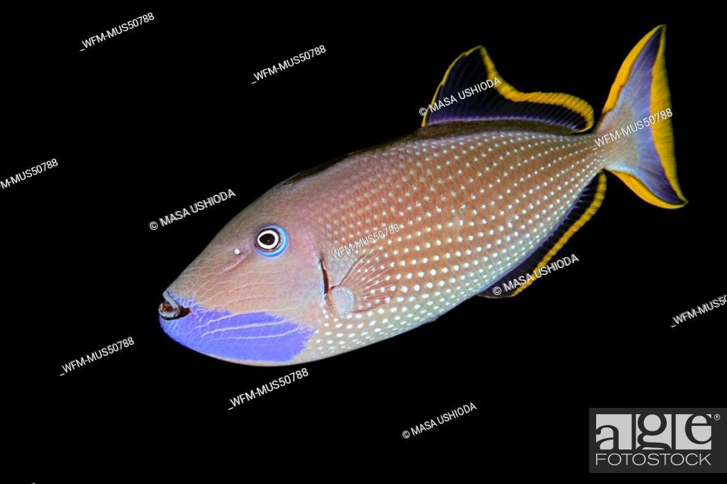 Stock Photo: Gilded Triggerfish, male courting coloration, Xanthichthys auromarginatus, Kona Coast, Big Island, Pacific Ocean, Hawaii, USA.