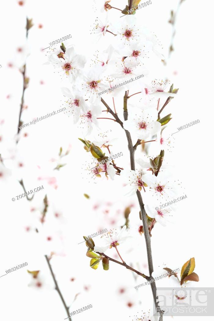 Stock Photo: Blüten einer Blutpflaume (Prunus cerasifera Nigra).