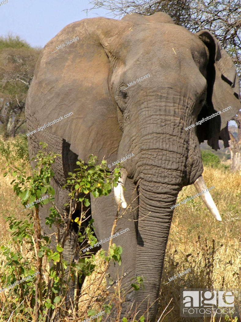Stock Photo: African Elephant (Loxodonta africana). Tarangire National Park, Tanzania.