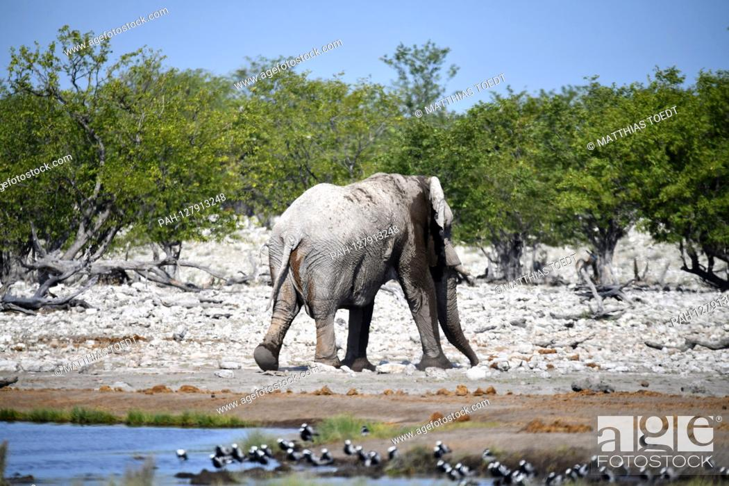 Stock Photo: African elephant (Loxodonta africana) leaves a water hole in Etosha National Park, taken on 05.03.2019. With more than 22, 000 square kilometers.