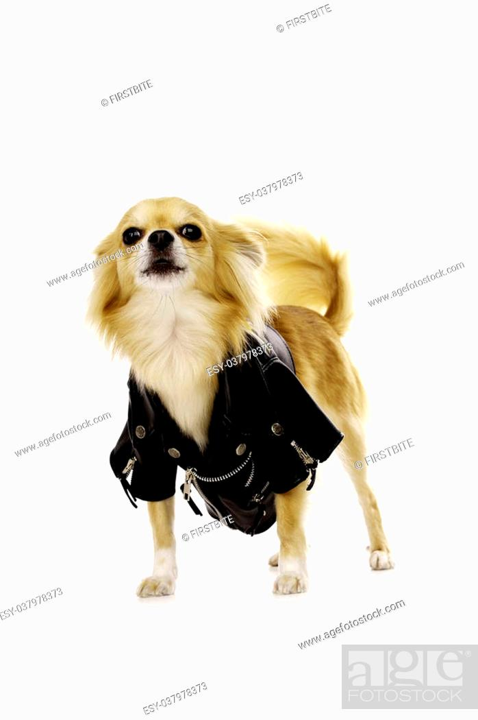 Stock Photo: Sand Coloured Chihuahua Wearing a Black Leather Biker Jacket Standing Barking.