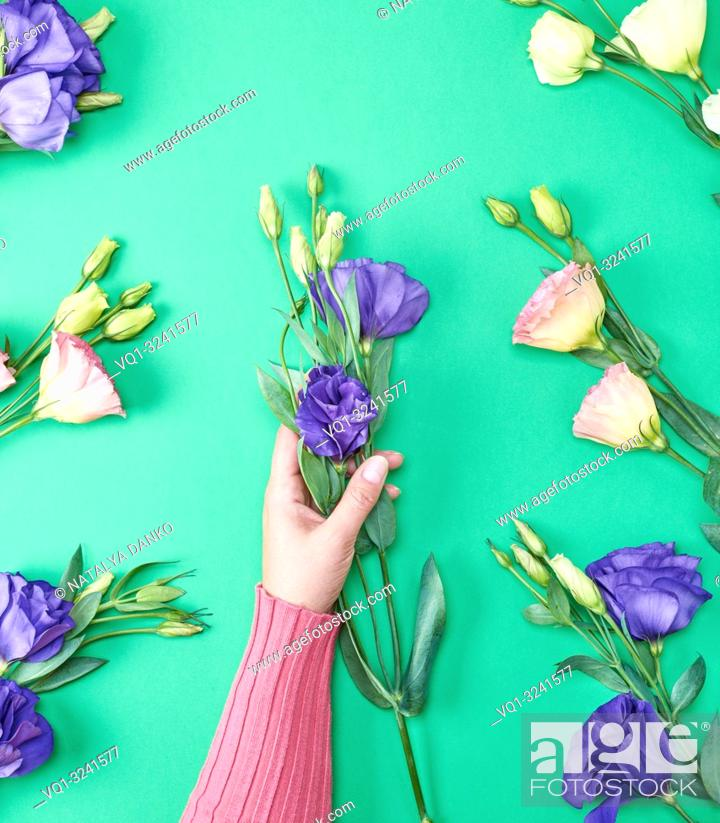 Stock Photo: female hand in a pink sweater holding a branch of a flower Eustoma Lisianthus with blue buds on a green background.