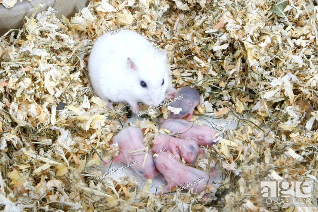 Russian Dwarf Hamster with youngs in nest, Phodopus sungorus