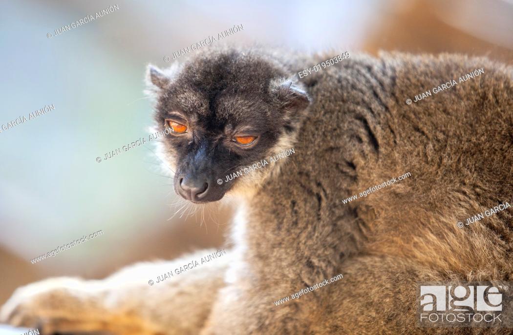 Stock Photo: Portrait of Common brown lemur half-asleep.
