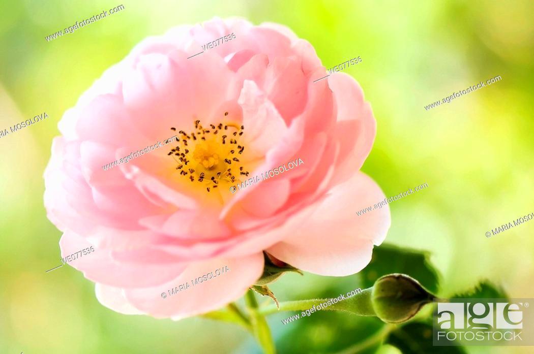 Stock Photo: Pink Rose. Rosa hybrid. August 2007, Maryland, USA.
