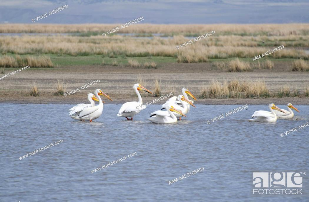 Stock Photo: American White Pelicans, Pelecanus erythrorhynchos, Malheur National Wildlife Refuge, Southeastern Oregon.