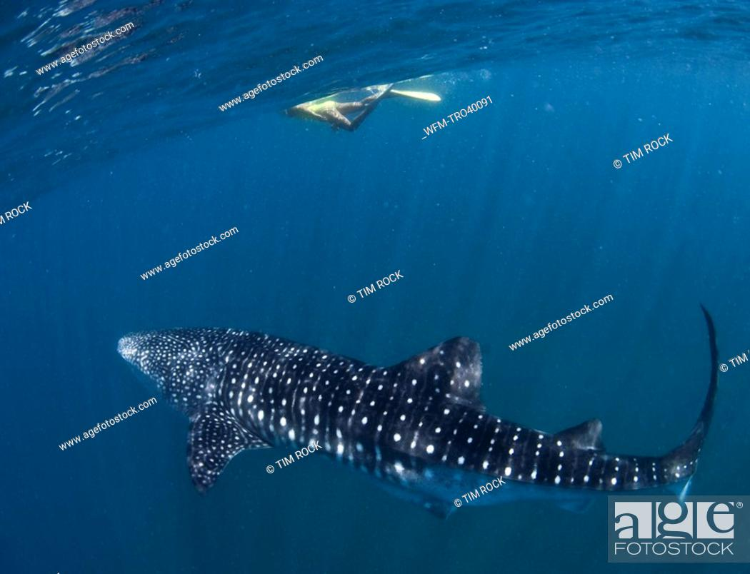 Stock Photo: Whale Shark and Skin Diver, Rhincodon typus, South-East Africa, Indian Ocean, Mozambique.