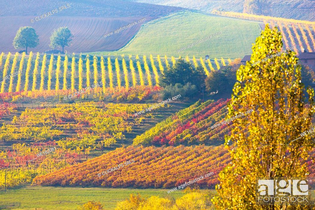 Imagen: Lambrusco Grasparossa Vineyards in autumn. Castelvetro di Modena, Emilia Romagna, Italy.