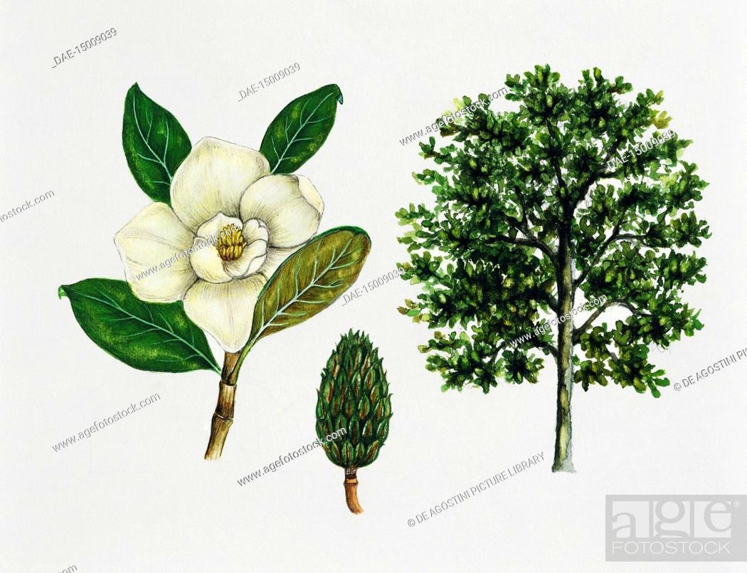 Southern Magnolia Or Bull Bay Magnolia Grandiflora Magnoliaceae