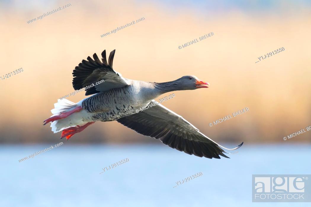 Stock Photo: Greylag goose, Anser anser, Germany, Europe.