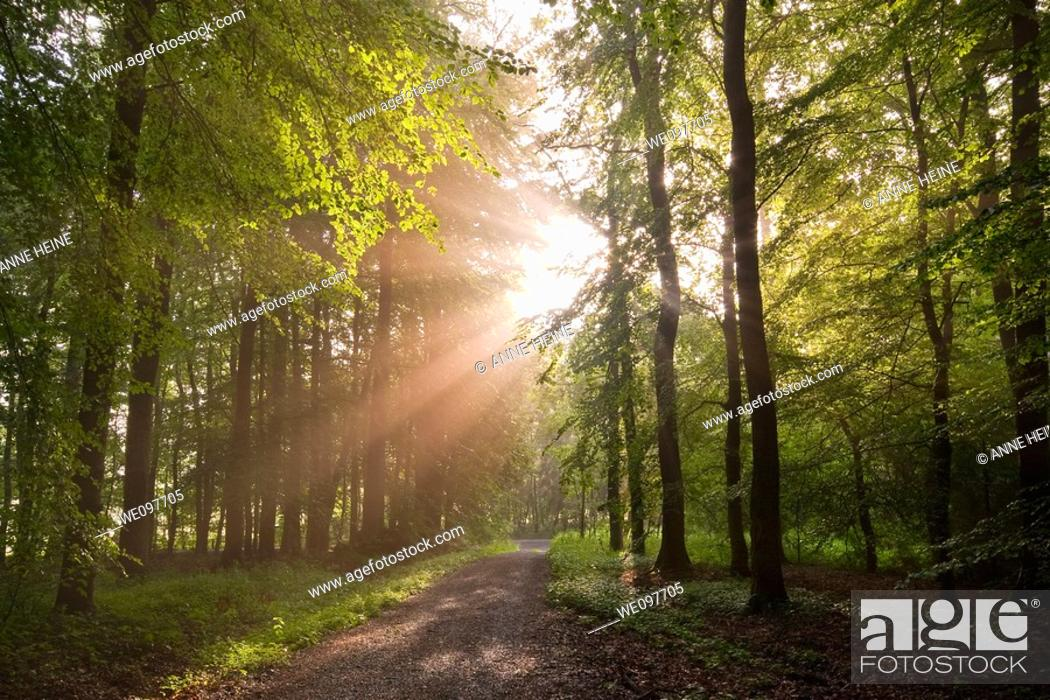 Stock Photo: sunbeams shining through forest trees.