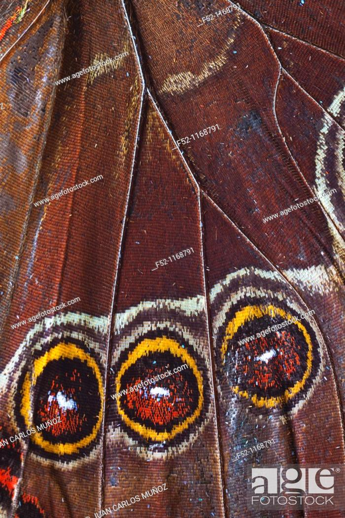 Stock Photo: Butterfly, detail of wing with three eyespots.