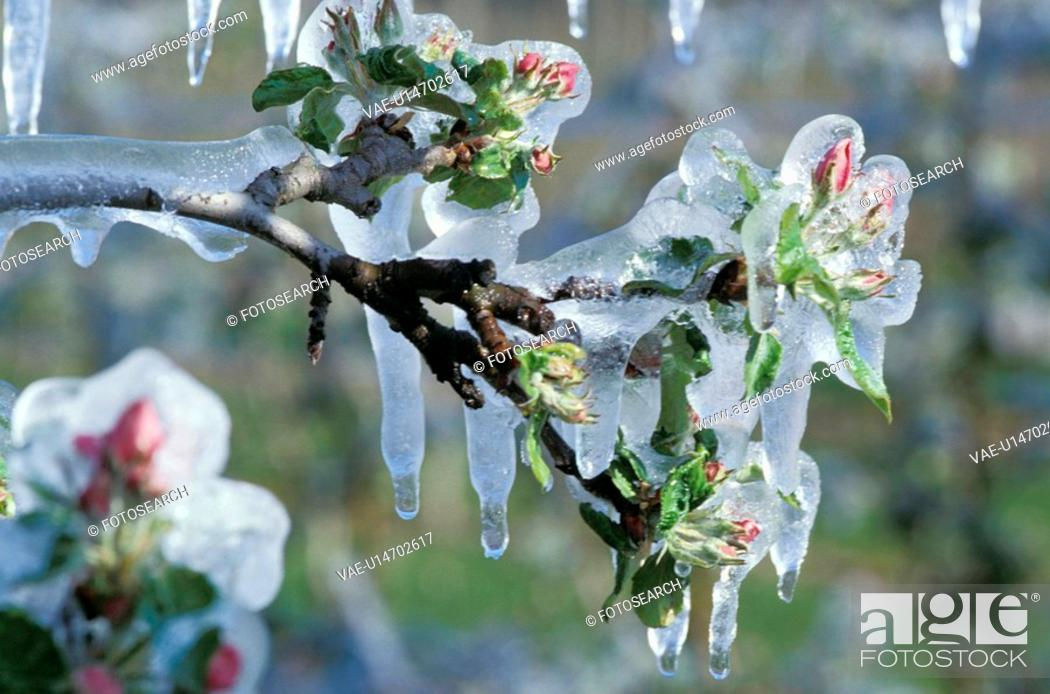 Stock Photo: climatic change, bloom, branch, bough, blossom, climatic heating, abloom.