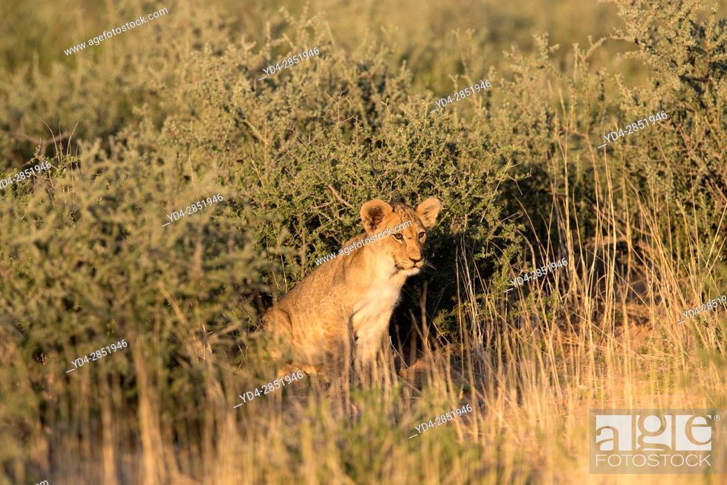 Stock Photo: African lion (Panthera leo) - Cub, in the bush, Kgalagadi Transfrontier Park, Kalahari desert, South Africa/Botswana.