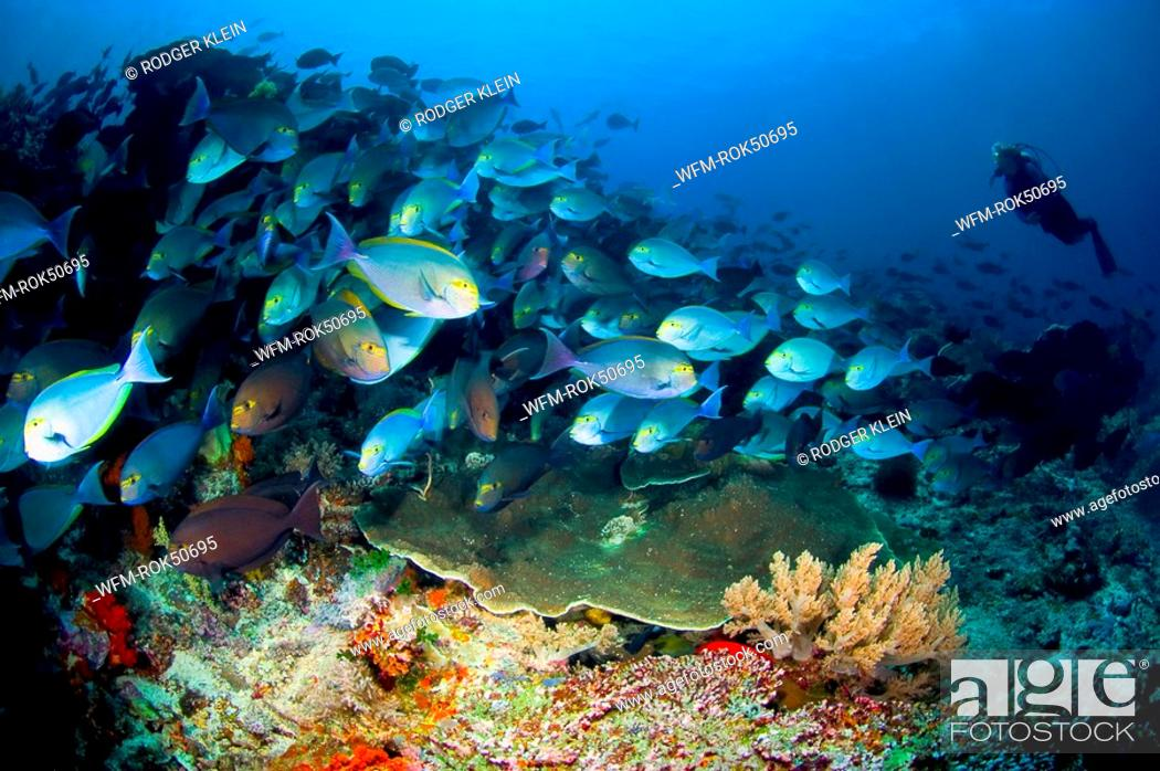 Stock Photo: School of Elongate surgeonfish with Diver, Acanthurus mata, Komodo, Flores Sea, Indonesia.