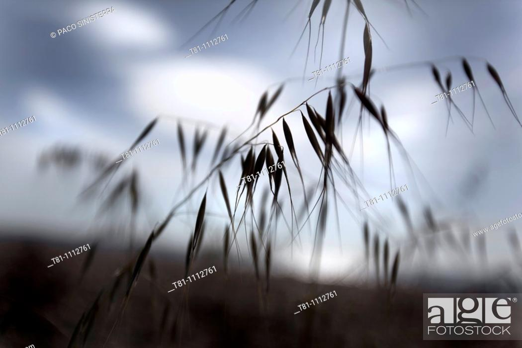 Stock Photo: oats, Mediterranean landscape.