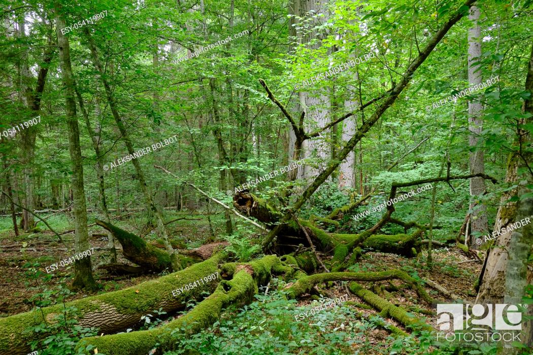 Stock Photo: Broken old ash tree and old english oak trees in background in summertime deciduous tree stand, Bialowieza Forest, Poland, Europe.