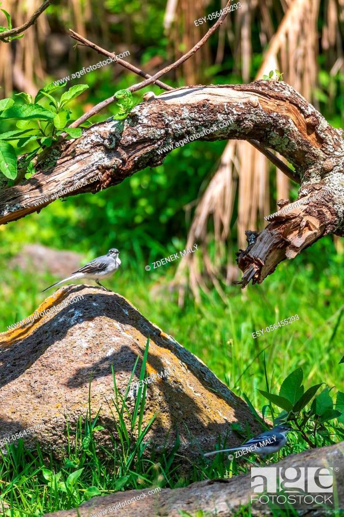 Stock Photo: bird mountain wagtail (Motacilla clara), also known as the long-tailed wagtail or grey-backed wagtail, Wondo Genet, Ethiopia Africa safari wildlife.