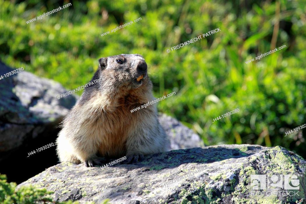 Stock Photo: 1, Alp, Alps, groundhog, Alpine fauna, Alpine groundhog, Alpine, animal world, alpine Marmot, mountain, mountains, fauna, cliff, rock, Marmota, Marmota marmota.