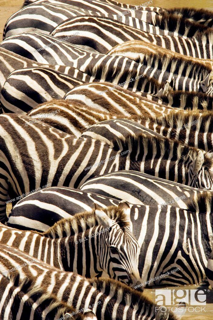 Stock Photo: Zebra Patterns - Masai Mara National Reserve, Kenya.