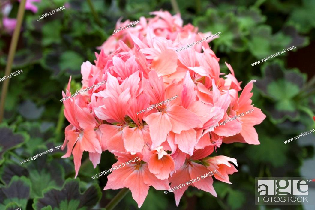 Stock Photo: PELARGONIUM FIREWORKS SALMON.