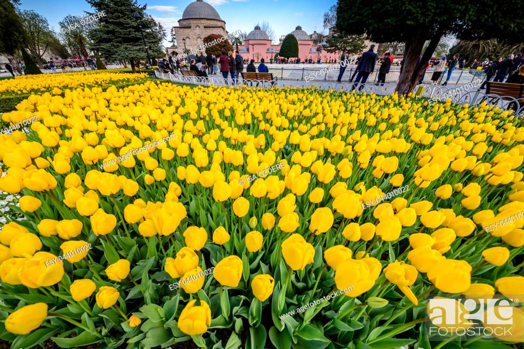 Imagen: Traditional tulip Festival in Sultanahmet Square Park with view of Sultan Ahmet Mosque(Blue Mosque)on background and colorful tulips on foreground.