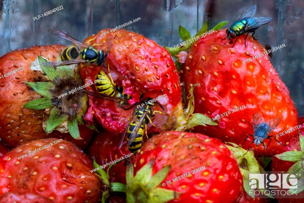 Stock Photo: Wasps and flies eating rotten strawberries in garden.