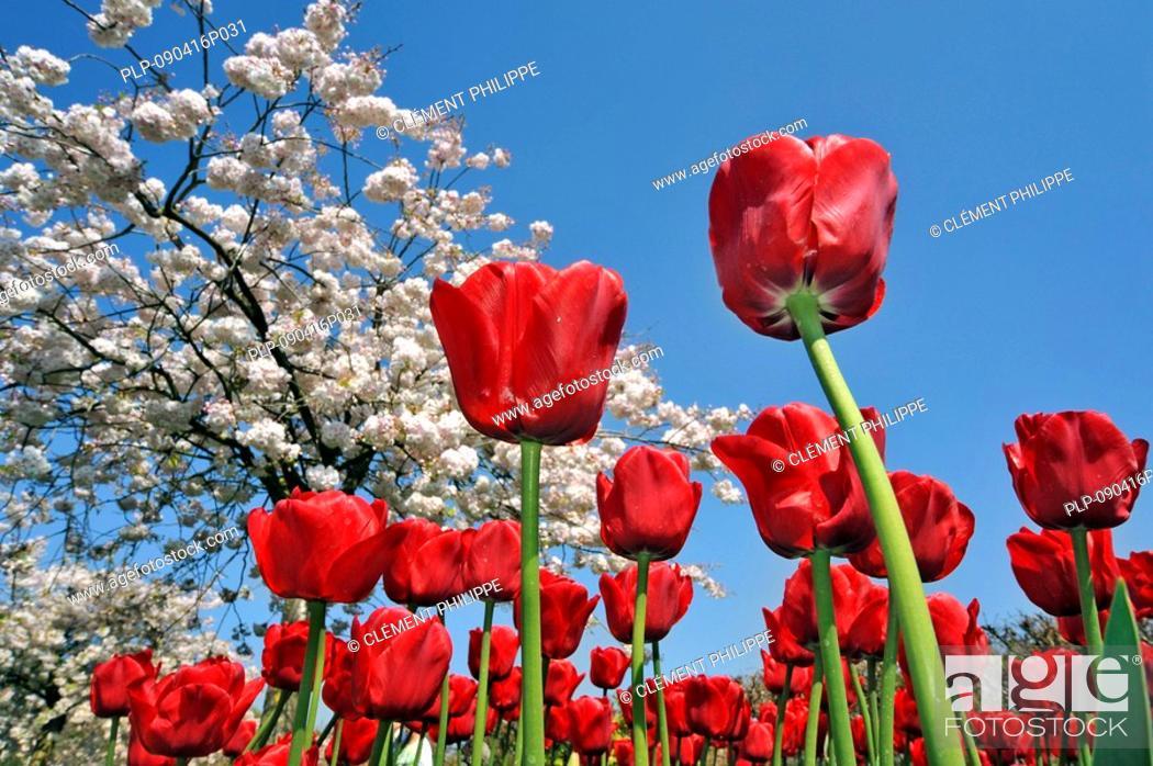 Stock Photo: Red tulips Tulipa sp. and Japanese cherry tree Prunus serrulata in flower garden of Keukenhof, the Netherlands.
