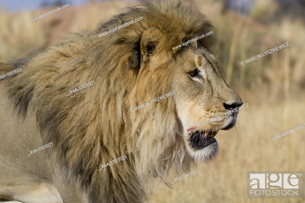 Stock Photo: Portait of male lion (Panthera leo), Okonjima Nature Reserve, Namibia.