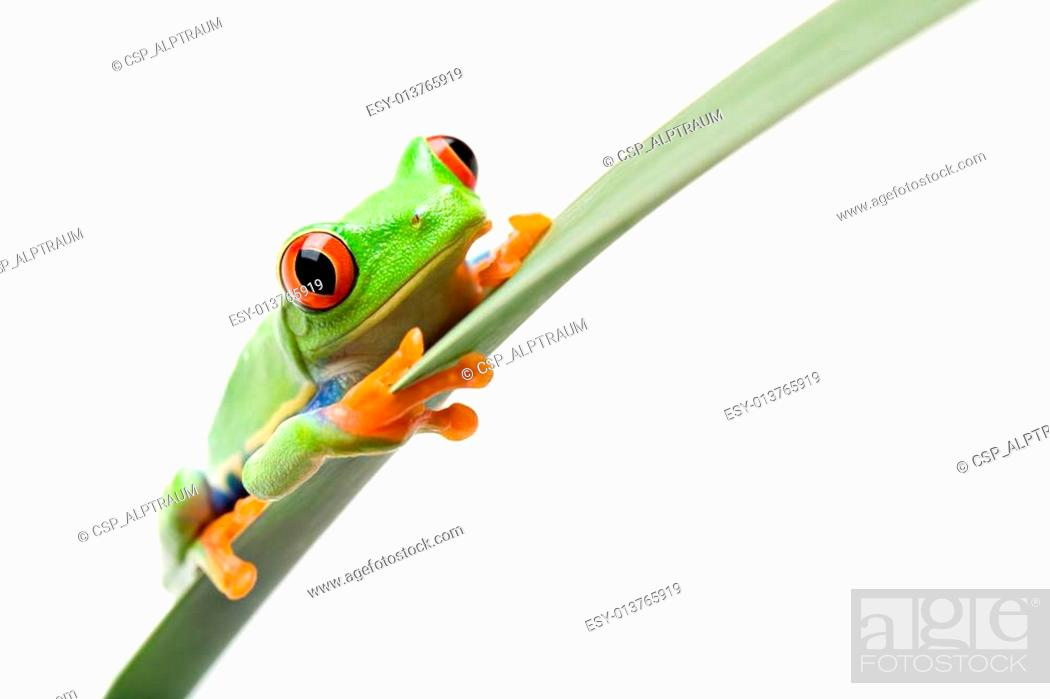 Stock Photo: frog on a leaf isolated white.