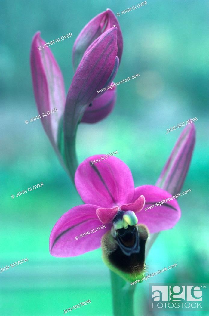 Imagen: Purple flowers from Ophrys tenthredinifera, a type of orchid, close-up.