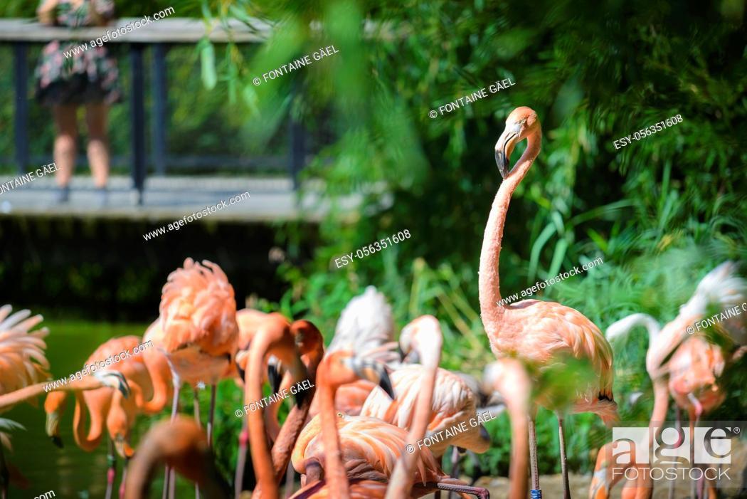 Stock Photo: Flamingos.