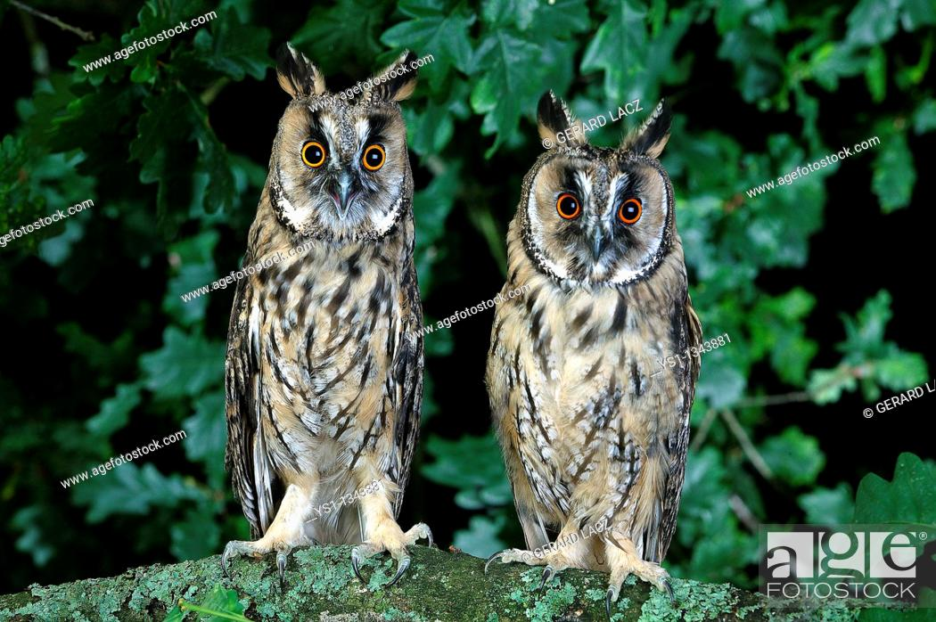 Stock Photo: LONG-EARED OWL asio otus, PAIR STANDING ON BRANCH, NORMANDY.