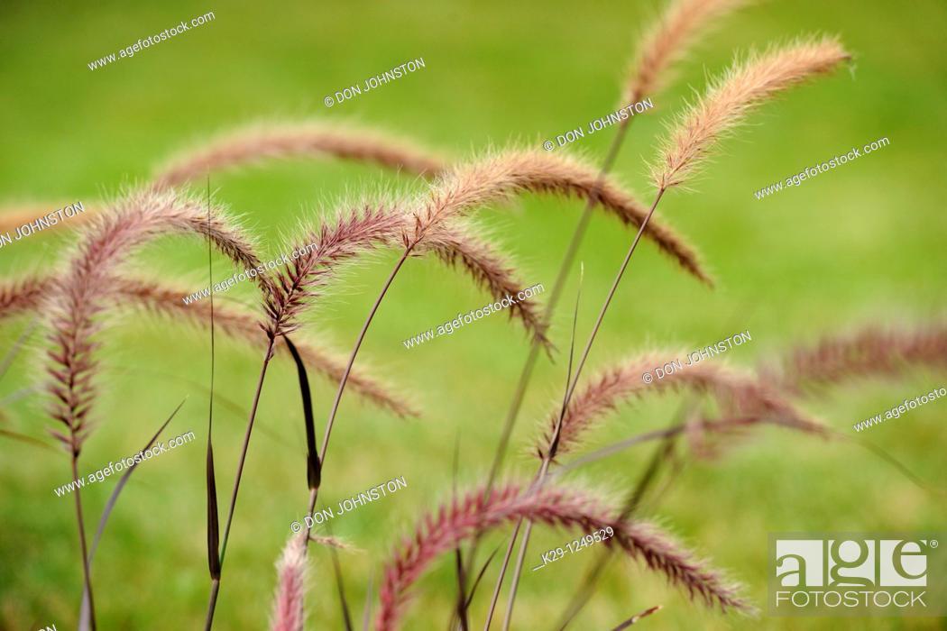 Stock Photo: Purple Fountain Grass Pennisetum setaceum 'Rubrum'.