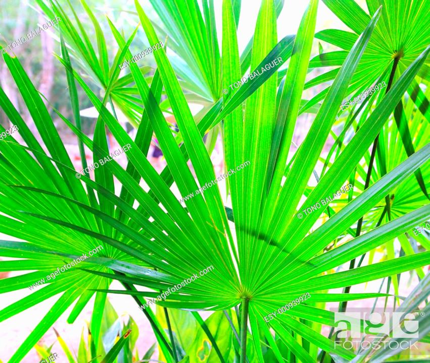 Imagen: Chit Palm tree leaves in Yucatan rainforest mexico central america.