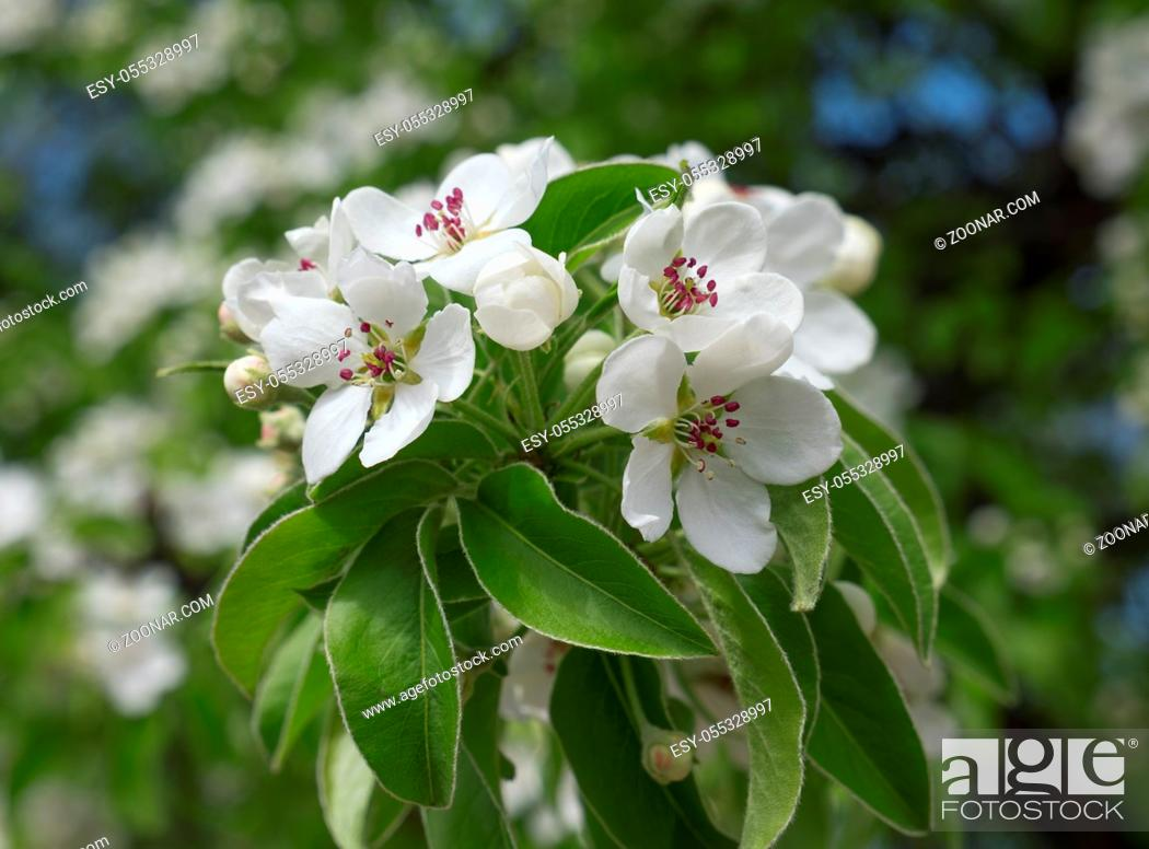 Stock Photo: Apple blossoms in spring on white background.
