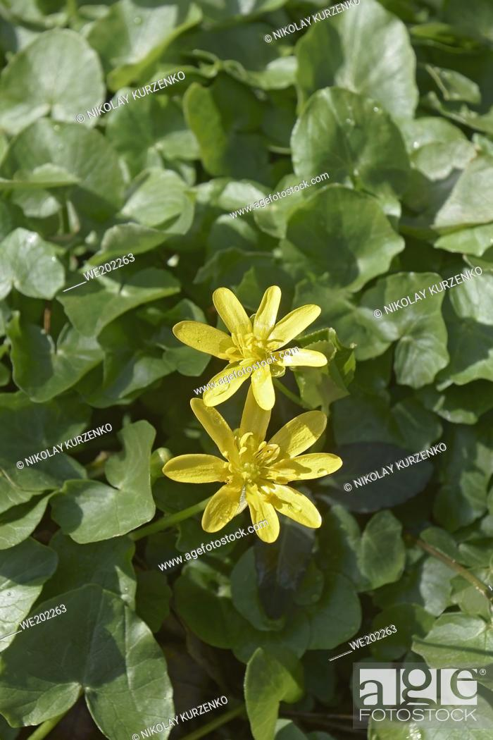 Imagen: Lesser celandine (Ficaria verna). Called Pilewort and Fig buttercup also. Another scientific name is Ranunculus ficaria.