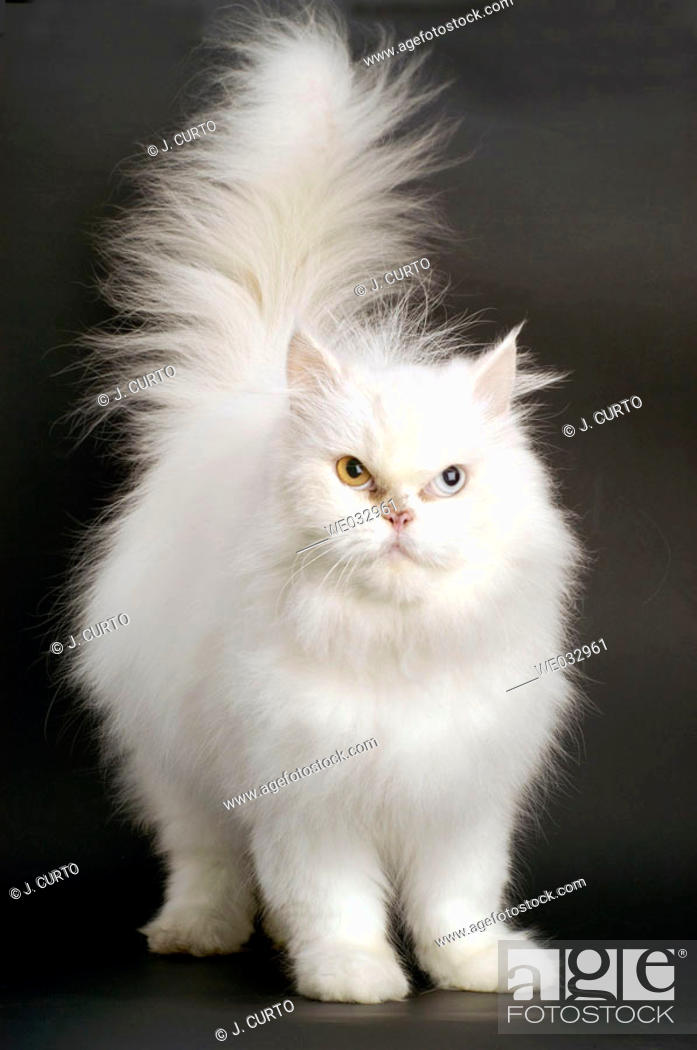 Stock Photo: Persian cat.