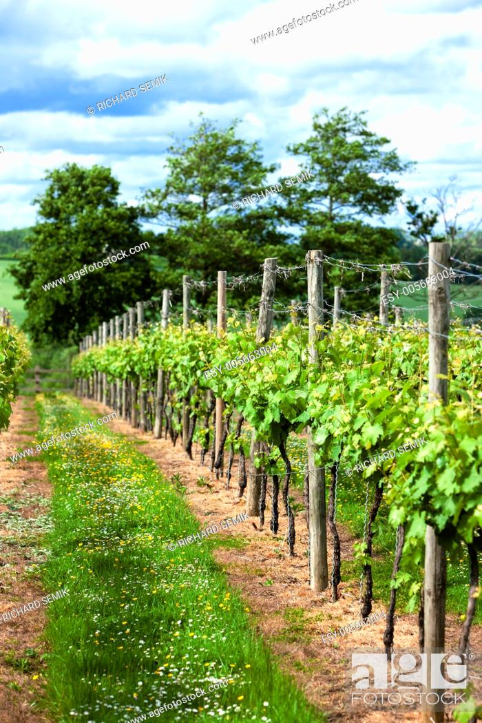 Stock Photo: vineyar near Lamberhurst, Kent, England.