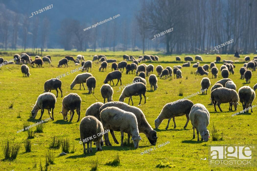 Stock Photo: sheep are on grass in the morning.