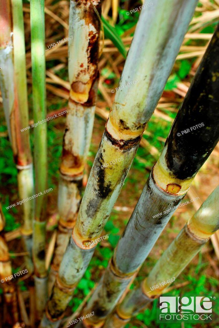 Stock Photo: Sugar cane block, Saccharum officinarum.