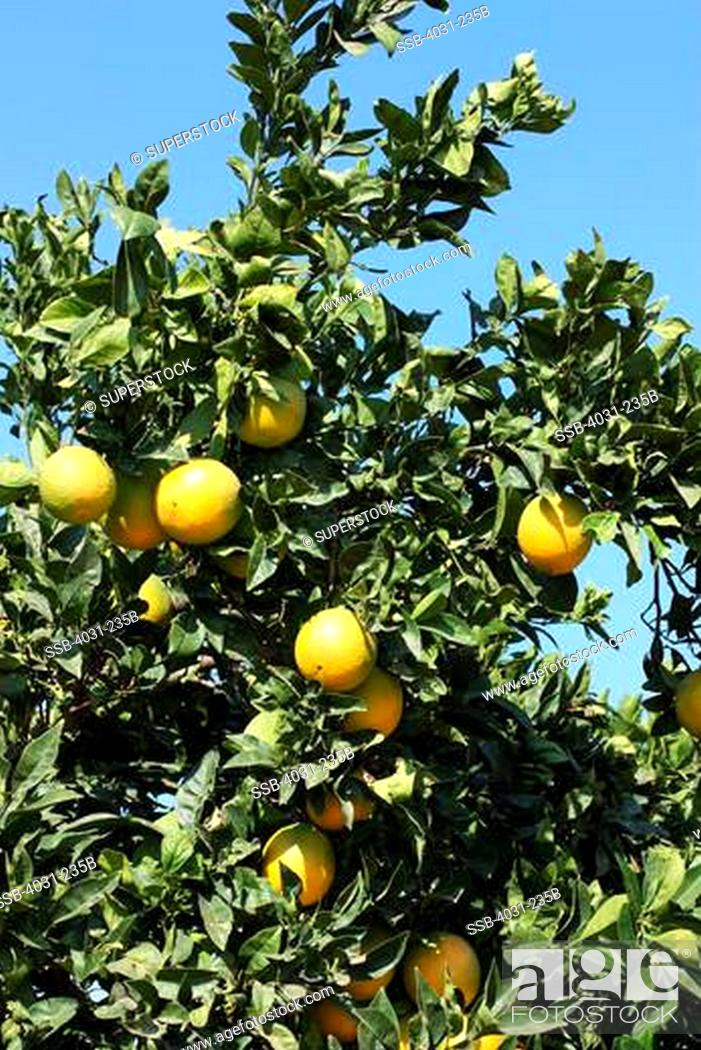 Stock Photo: USA, California, Kern county, Oranges hanging on orange tree in orange grove.