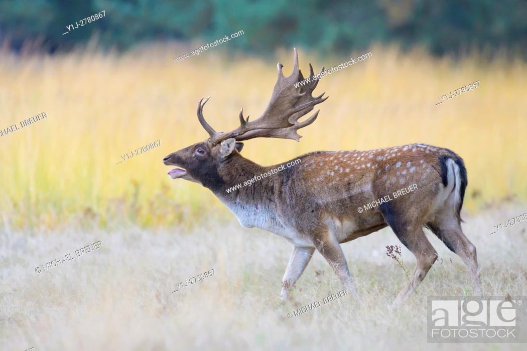 Stock Photo: Belling Fallow Deer at Rutting Season, Cervus dama, Hesse, Germany, Europe.